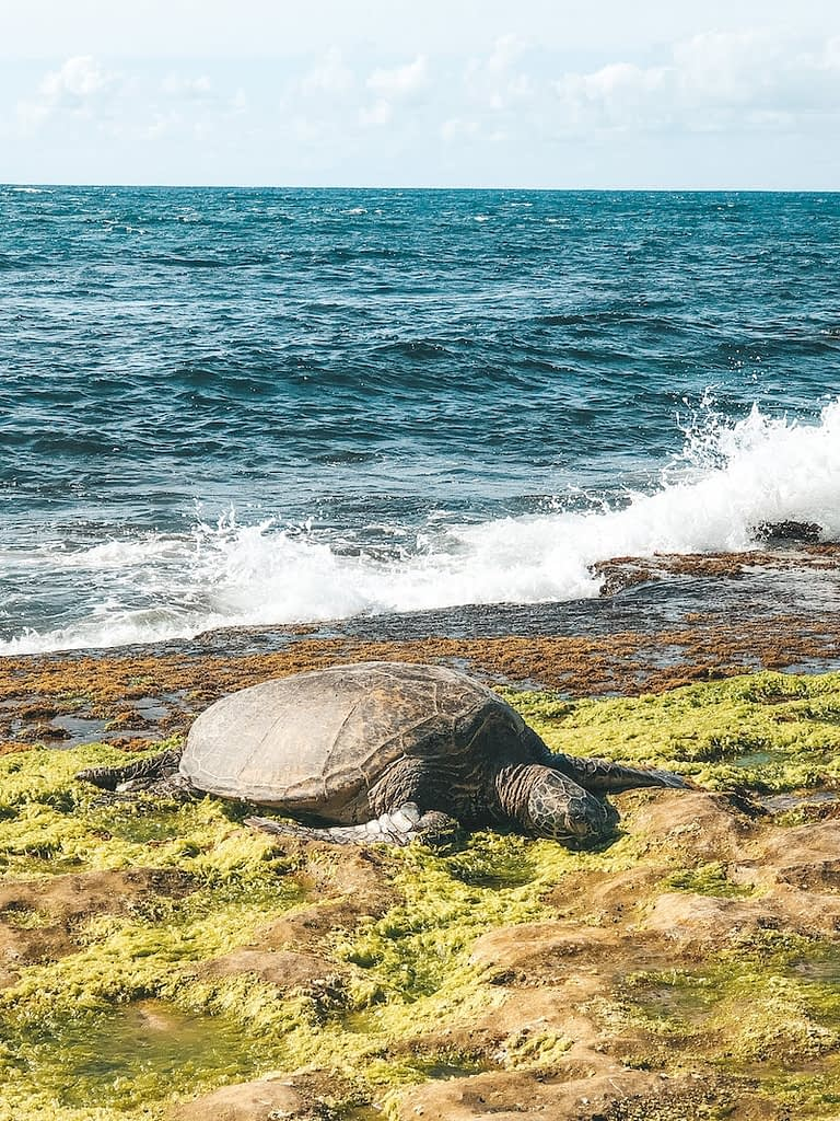 Day Trip to North Shore Hawaii - Sea Turtles at Laniakea Beach - Travel by Brit