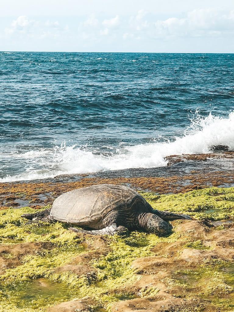 Laniakea Beach - Travel by Brit