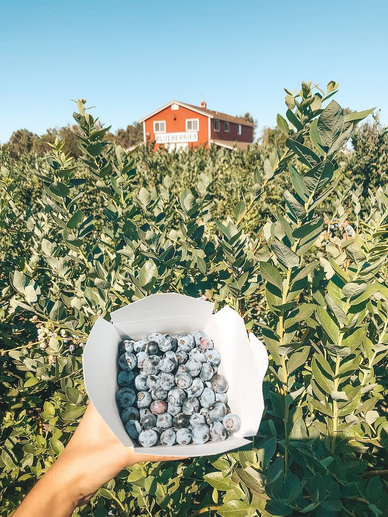 Best Things to Do in Temecula - Temecula Berry Co. Blueberry Picking - Travel by Brit