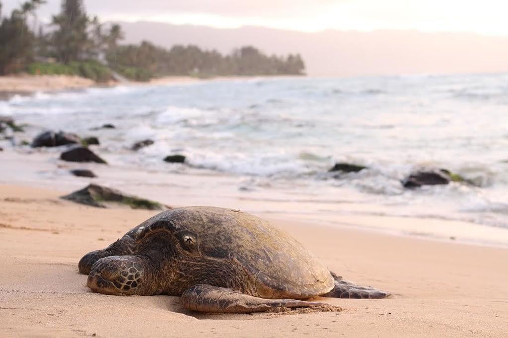 Best Things to Do on Oahu for Free - Laniakea Beach Sea Turtles